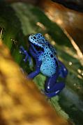Julian Bralley - African Blue Frog