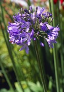 Agapanthus Metal Prints - African Blue Lily bressingham Blue Metal Print by Adrian Thomas