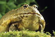 Bullfrog Posters - African Bullfrog Poster by David Aubrey