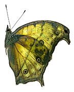 Janeen Wassink Searles Prints - African Butterfly - Salamis Parhassus  Print by Janeen Wassink Searles