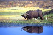 Reflection In Water Photo Prints - African Cape Buffalo, Photographed At Print by John Pitcher