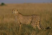 African Cheetah Acinonyx Jubatus Print by Michael Nichols