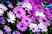 Purple Decorative Art Art - African Daisies - Arctotis stoechadifolia by Christine Till