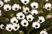 Northern Africa Prints - African Daisies (osteospermum Sp.) Print by Bob Gibbons