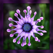 Purple And Green Prints - African Daisy - HDR Print by Carol Groenen