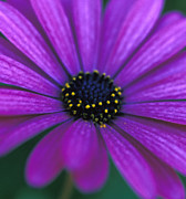 Floral Greeting Cards Photos - African Daisy  by Kathy Yates