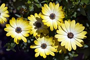 Buttermilk Photos - African Daisy (osteospermum buttermilk) by Dr Keith Wheeler