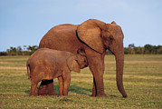 South African Photo Prints - African Elephant Calf Suckling Print by Peter Chadwick