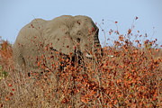 South African Prints - African elephant hiding in shrubs Print by Sami Sarkis