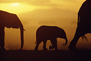 Featured Prints - African Elephant Loxodonta Africana Print by Karl Ammann