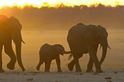 Sundown Prints - African Elephant Loxodonta Africana Print by Pete Oxford