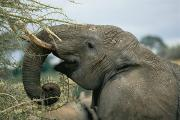 Tarangire Prints - African Elephant Loxodonta Africana Print by Roy Toft
