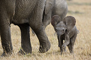 Kenya National Park Prints - African Elephant Mother And Under 3 Print by Suzi Eszterhas