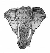 Pen  Drawings - African Elephant by Nick Gustafson