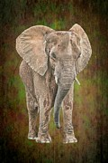 Tusk Photo Prints - African Elephant Print by Rudy Umans