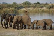 African Wild Life Posters - African Elephants By Lake Poster by Axiom Photographic