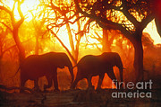 Gregory G. Dimijian - African Elephants