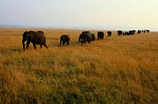 Herd Of Elephants Posters - African Elephants March Through Savanna Poster by Michael Nichols