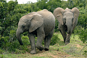 South African Photo Prints - African Elephants Print by Peter Chadwick
