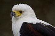 Eagle Photos - African fish eagle 1 by Heiko Koehrer-Wagner