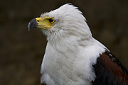 Eagle Photos - African fish eagle 3 by Heiko Koehrer-Wagner