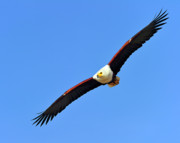 Tony Photos - African Fish Eagle by Tony Beck