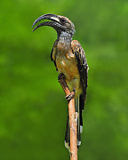 Hornbill Photos - African Grey Hornbill by Tony Beck