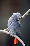 Grooming Art - African Grey Parrot Psittacus Erithacus by Gerry Ellis