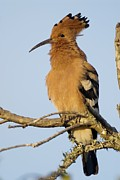 South African Prints - African Hoopoe Print by Peter Chadwick