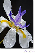 Raindrops Posters - African Iris Poster by Holly Kempe