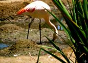 African Lesser Flamingo Print by Debra     Vatalaro