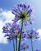 Umbel Prints - African Lilies (agapanthus Sp.) Print by Gavin Kingcome