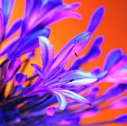 Blue Lily Of The Nile Photos - African Lily (agapanthus Sp.) by Johnny Greig