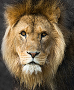 Photos Of Cats Posters - African Lion Poster by Andrew  Michael