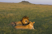 African Cat Prints - African Lion Couple In Maasai Mara Print by Suzi Eszterhas