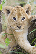 Eye Contact Photo Framed Prints - African Lion Cub Kenya Framed Print by Suzi Eszterhas