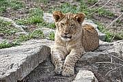 Lion Portrait Posters - African Lion Cub Poster by Tom Mc Nemar