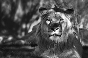 African Lion Photo Framed Prints - African Lion in Black and White  Framed Print by Saija  Lehtonen