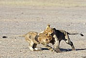 Juveniles Prints - African Lion Juveniles Play-fighting Print by Tony Camacho