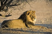 South African Photo Prints - African Lion Male Print by Tony Camacho