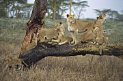 Communicating Photos - African Lion Panthera Leo Family by Konrad Wothe