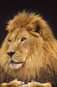 Photography Of Cats Prints - African Lion Panthera Leo Male Print by Gerry Ellis