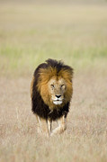 Front View Art - African Lion Panthera Leo Male, Masai by Suzi Eszterhas