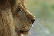 Environmental Issue Art - African Lion Panthera Leo Male Portrait by Zssd