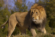 Animalsandearth Photos - African Lion Panthera Leo Male by San Diego Zoo