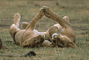 Felidae Photos - African Lion Panthera Leo Two Cubs by Gerry Ellis