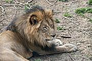 African Lion Print by Tom Mc Nemar