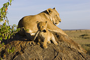 Masai Mara Prints - African Lion With Mothers Tail Print by Suzi Eszterhas