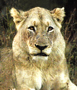 Howard Koby Posters - African lioness Poster by Howard Koby