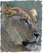 Colored Charcoal Digital Art Framed Prints - African Lioness Framed Print by Larry Linton